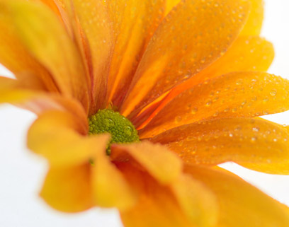 chrysabella verzorging