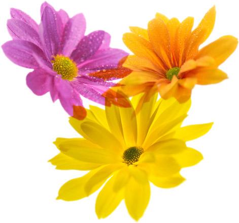 chrysabella bloemen